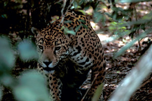 A jaguar, one of the species affected by the border fence