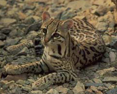 Mobility of ocelots in the fenced areas may be affected