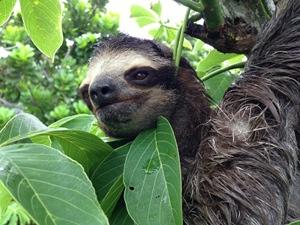 An adult sloth