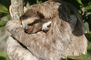 A mother sloth with her baby